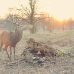 deer by rebecca johnston